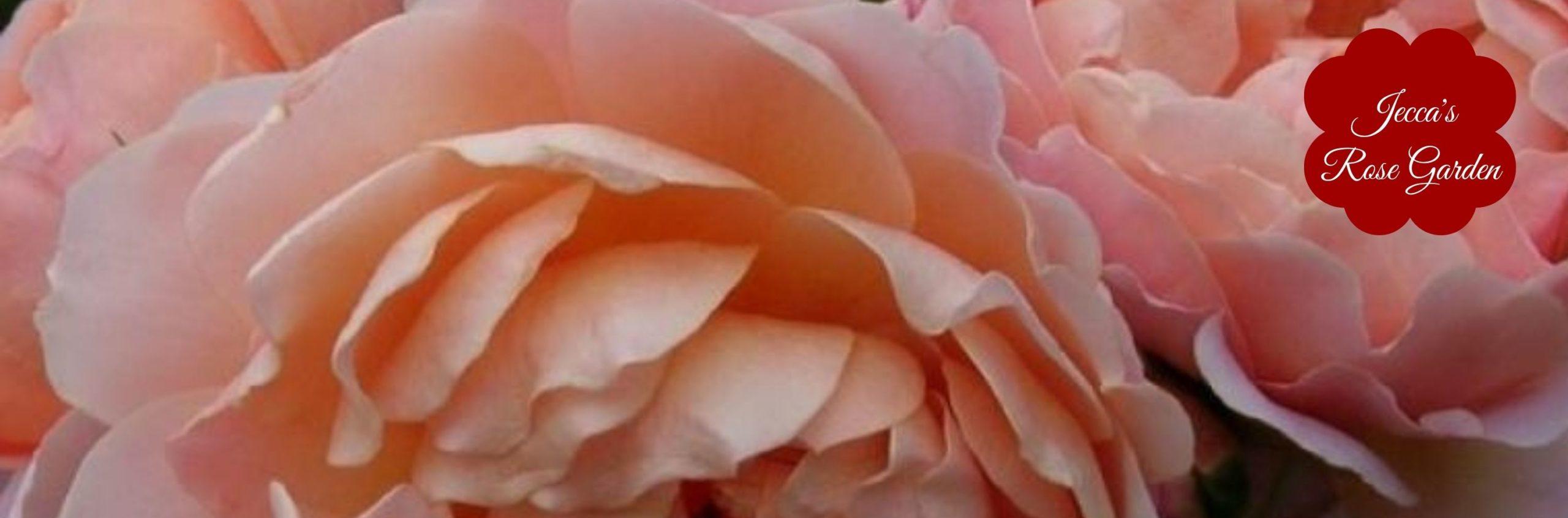 Jecca's Rose Garden
